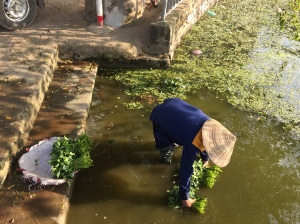 Urban Hanoi farmer washing veggies in eutrophied water body. Photo credit: David Iwaniec