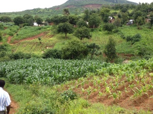 Maize is the staple crop in Malawi, and it is grown everywhere (really everywhere). You can clearly see however which plots have been fertilized and which ones have not. Photo credit: Genevieve Metson